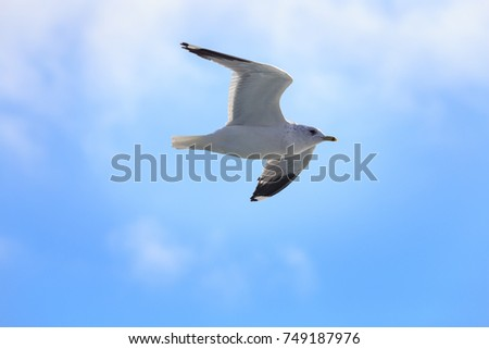 Mew Gull (Larus canus) flying against blue sky.