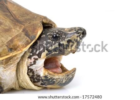 Mexican Giant Musk Turtle (Staurotypus triporcatus) on white background. - stock photo