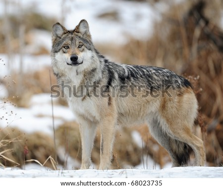 Mexican gray wolf (Canis lupus baileyi)