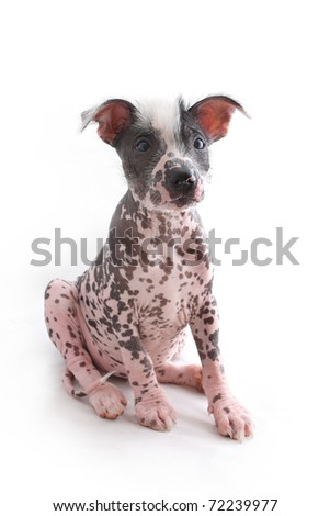 Mexican Hairless Dog sitting in upright position - stock photo