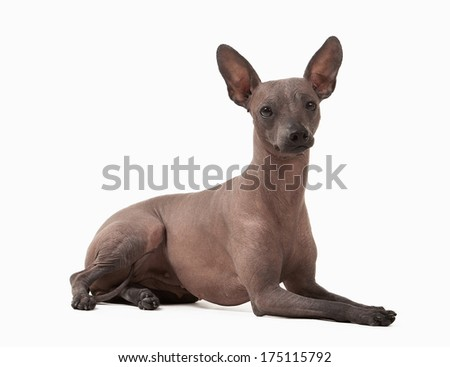 Mexican hairless puppy on white background - stock photo