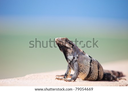 Mexican iguana relaxing in front of Caribbean sea