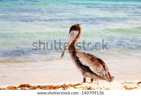 Mexican pelican at beach - stock photo