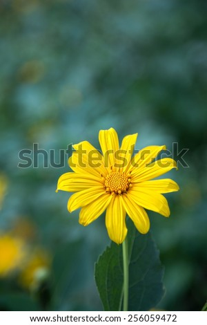 Mexican sunflower - stock photo