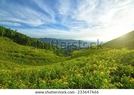 mexican sunflower field in mae hong son, Thailand - stock photo