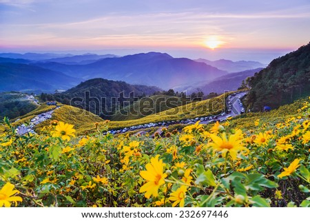 Mexican sunflower weed valley in Maehongson Province, Thailand. - stock photo