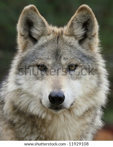 Mexican Wolf Portrait - stock photo
