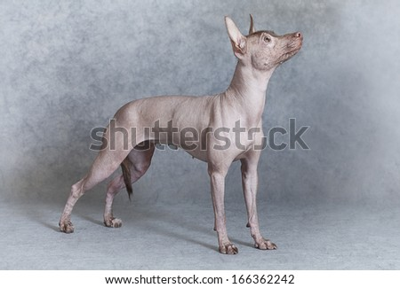Mexican xoloitzcuintle dog standing against grey background