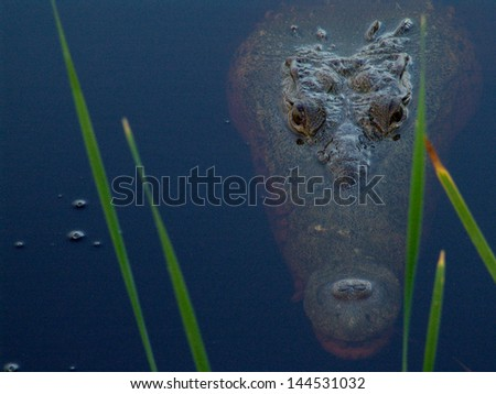 Mexico mayan alligator in pond - stock photo
