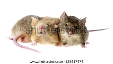 mice isolated - stock photo