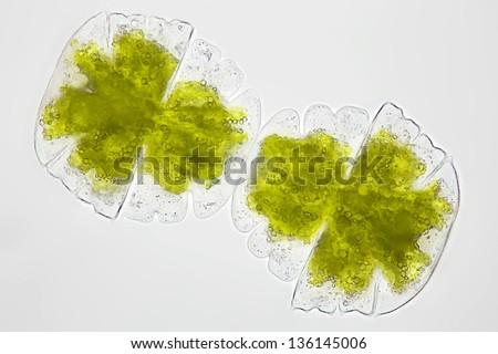 Micrasterias truncata - algae - chlorophytes - desmidiacea - cell division - Desmid algae - brightfield - stock photo