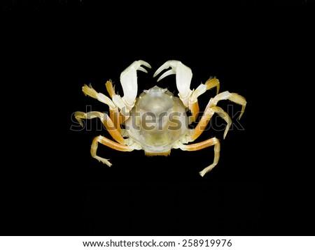 Mictyris Crab on black background, ( Mictyris sp.) - stock photo