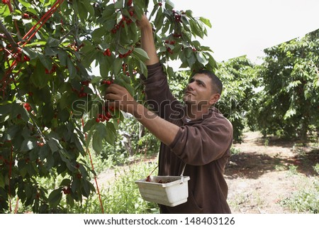 Middle aged man plucking fresh cherries from tree into basket - stock photo