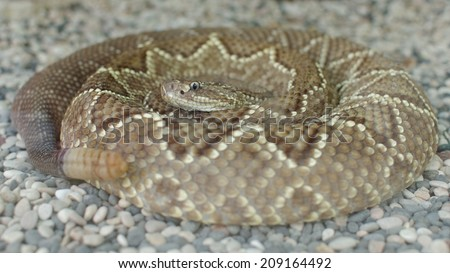 middle american rattle snake or central american rattle snake or crotalus simus - stock photo
