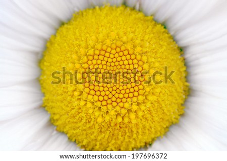 Middle of Daisy (Camomile) Flower Macro - stock photo