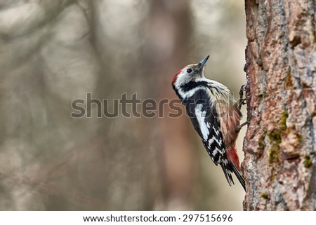 Middle spotted woodpecker, middle spotted woodpecker perched on a vertical tree trunk - stock photo