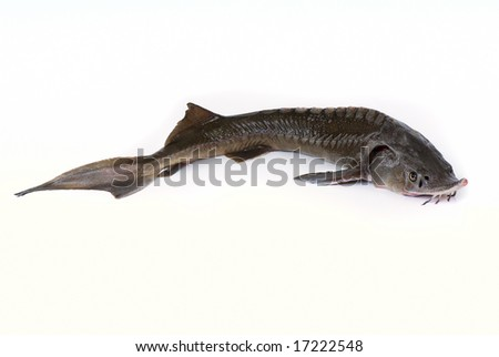 Middle sturgeon isolated on white background