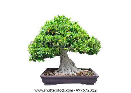 Middle tree trim Bonsia in pot on white background.
