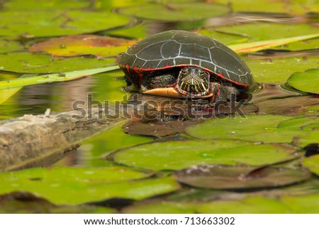 Midland Painted Turtle resting on a log in the pond, basking in the sun. Don Valley Brickworks Park, Toronto, Ontario, Canada.