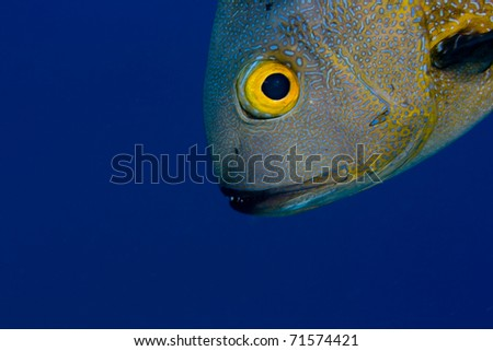 Midnight snapper (Macolor macularis) face, with a blue background, showing one eye and sharp teeth. Taken in the Wakatobi, Indonesia