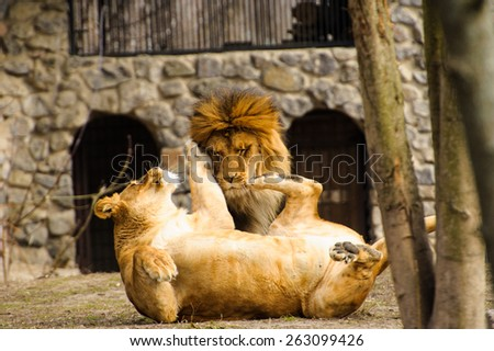 Mighty Lion and lioness - stock photo