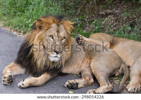 mighty male Lion lying down showing paws staring ahead, Panthera leo. Adventure safari trip through dense forest path with wild animals. Closeup of an asiatic male lion looking Gir India - stock photo