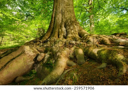 Mighty roots of a majestic old beech tree in a deciduous forest with beautiful light - stock photo