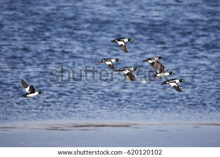 Migrating flock of golden eye ducks flying above the water in spring.