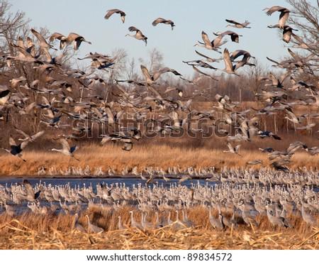 Migrating flock of greater sandhill cranes in flight - stock photo