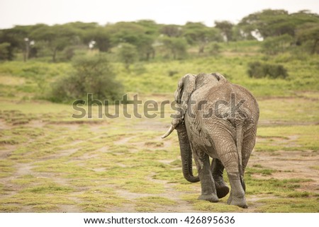 Migrating male elephant in the african savanna during rainy season - stock photo