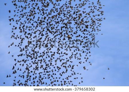 migration of a flock of birds blue sky background - stock photo