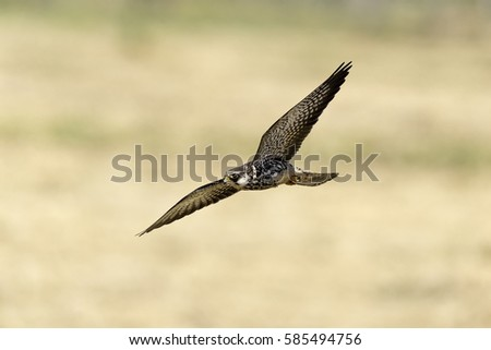 migration rare falcon flying in nature