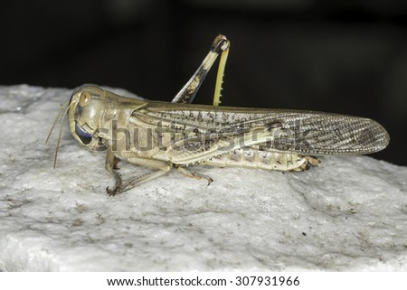 Migratory locust standing on a stone close-up - stock photo