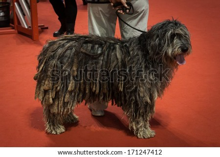 MILAN, ITALY - JANUARY 11: People and dogs take part in the international dogs exhibition of Milan, the most important dog show in Italy, on JANUARY 11, 2014 in Milan. - stock photo