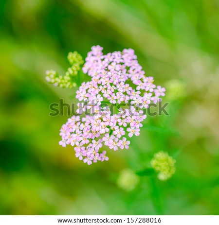 Milfoil herbal medicine, Yarrow (Achillea millefolium), green blurred background - stock photo