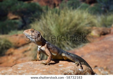 Military dragon./  Ctenophorus, also known as Comb-bearing Dragons, is a genus that contains the most diverse group of dragons in Australia. Many of these have been grouped by a similar morphology.