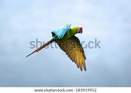 Military Macaw (Ara militaris) - stock photo