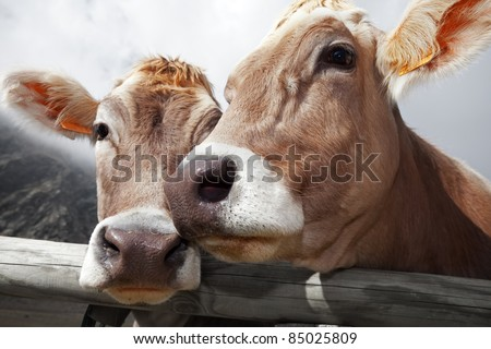 Milk cow in a bent grass. The cow is Danish breed - stock photo