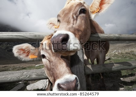 Milk cow in a bent grass. The cow is Danish breed
