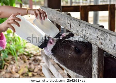 Milk feeding of a calf. - stock photo