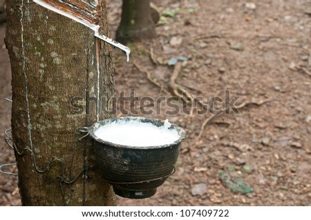 Milk of rubber tree flows into a wooden bowl