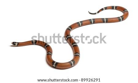 Milk snake or milksnake, Lampropeltis triangulum nelsoni, in front of white background - stock photo