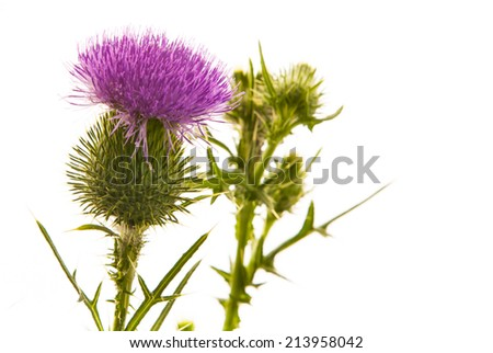 Milk thistle flower isolated on white - stock photo