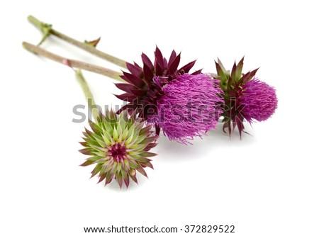 Milk Thistle flower, Silybum marianum, known as Scotch thistle, cardus marianus - stock photo