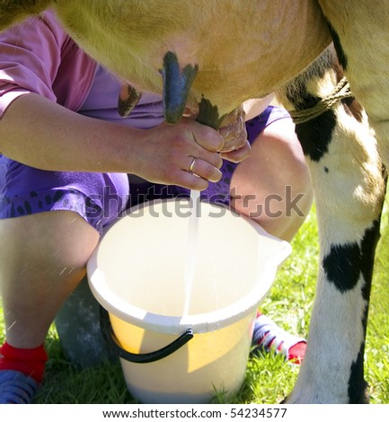 Milking of a cow - stock photo