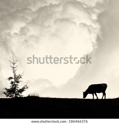 Milky clouds - alone cow and pine silhouette on vintage old film style - stock photo