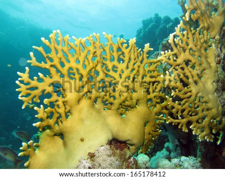 Millepora fire coral - stock photo