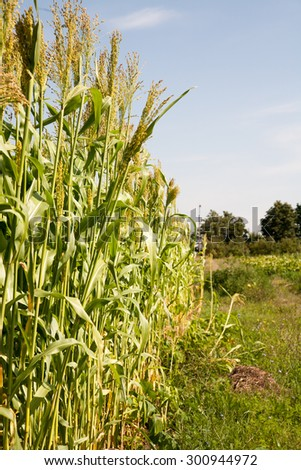 Millet is used as food, fodder and for producing alcoholic beverages. India is largest producer of millet in the world. Millet belongs to the genus Sorghum. - stock photo