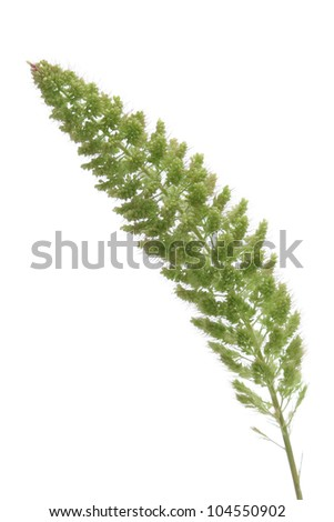 Millet isolated on white background - stock photo