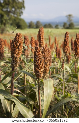 Millet spikes in a field  - stock photo